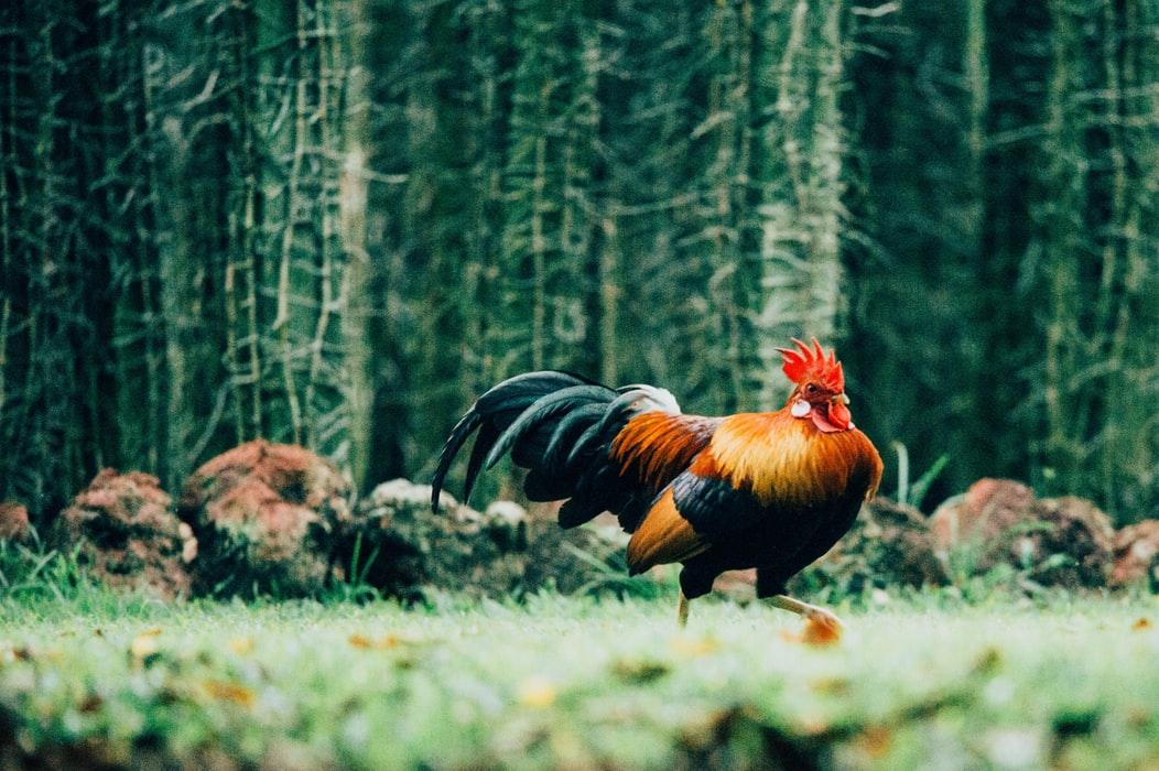 Permainan Sabung Ayam S128