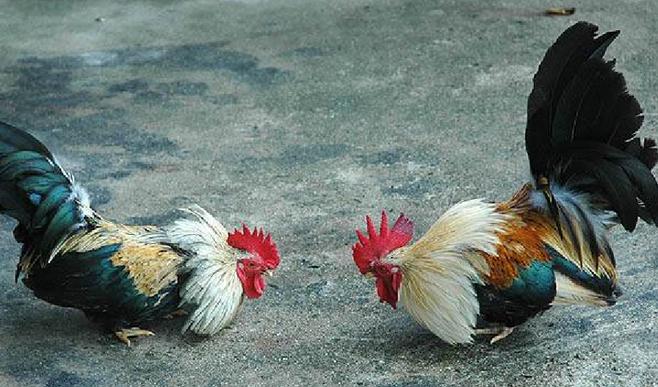 Tips dalam Bermain Judi Sabung Ayam S128